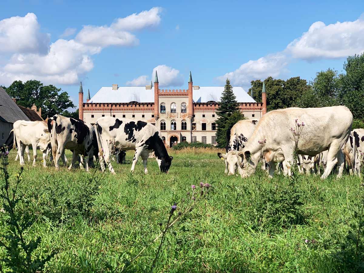 Kühe besuchen Schloss Broock