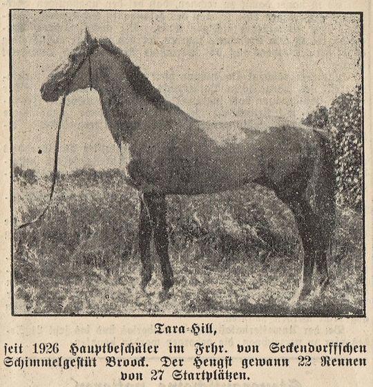 Abb. 02: Tara-Hill, seit 1926 Hauptbeschäler im Frhr. von Seckendorffschen Schimmelgestüt Broock. Der Hengst gewann 22 Rennen von 27 Startplätzen.